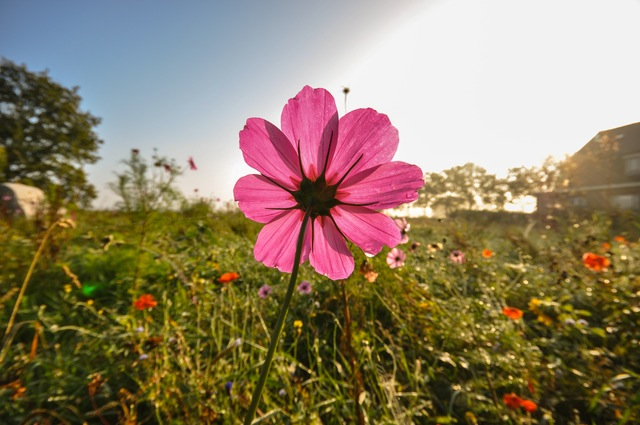 field-meadow-flower-pink1
